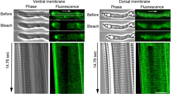 図2. 細胞膜循環の蛍光退色試験